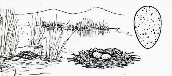nido de gallaeta andina Fulica ardesiaca