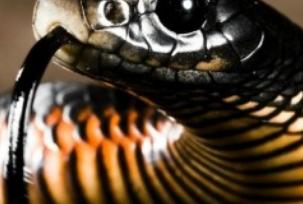 Inilah 10 Jenis Ular yang Paling Mematikan. Ada yang di Indonesia