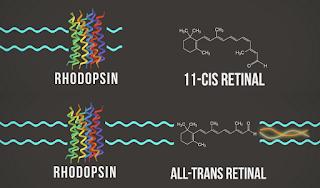 ATAS Rhodopsin dan 11 Cis Retinal, BAWAH Rhodopsin dan All Trans Retinal