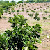 Fomentarán cultivo de café y aguacate