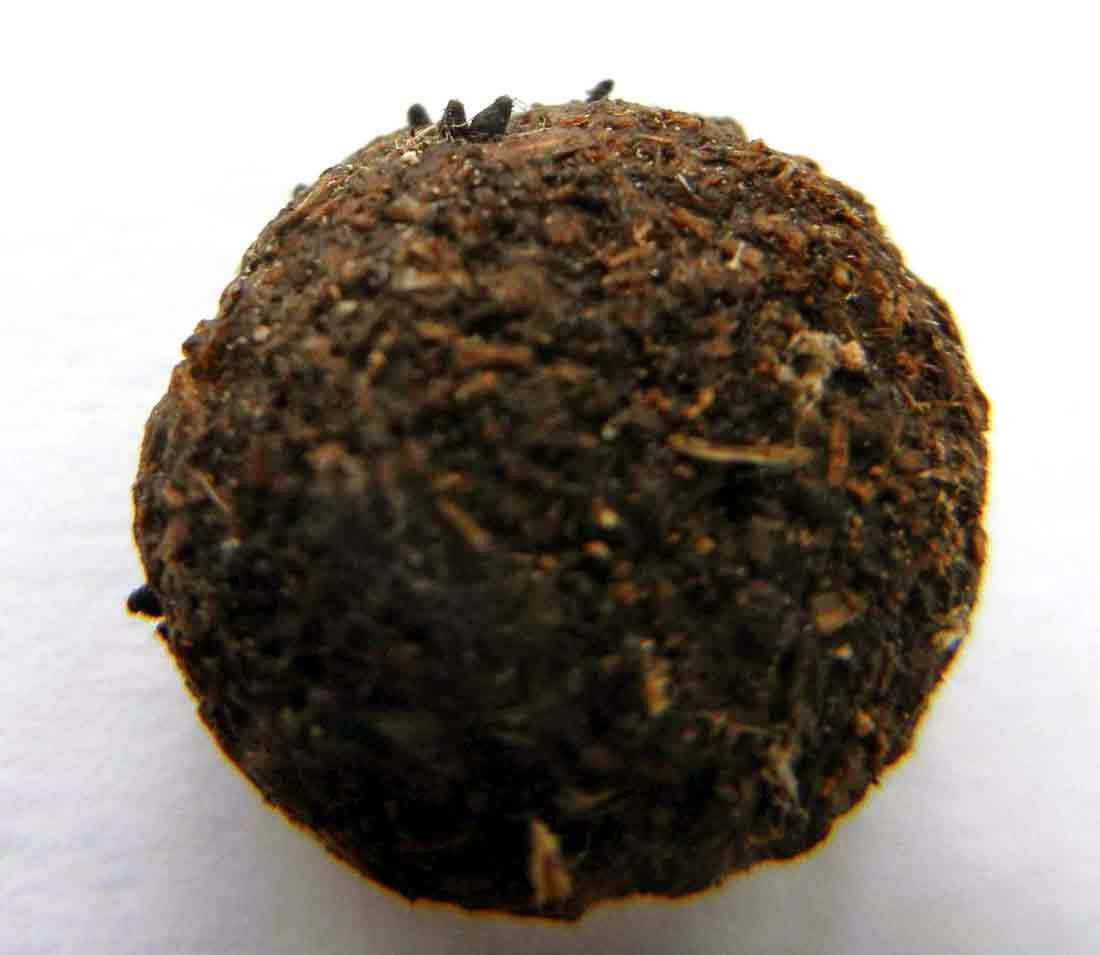Podospora appendiculata on rabbit dung