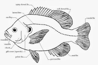 klasifikasi ikan baronang