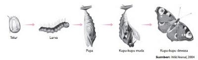 proses perkembangan pada kupu-kupu