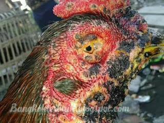Mengobati kutil pada ayam aduan