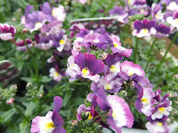 Nemesia 'Berries and Cream'