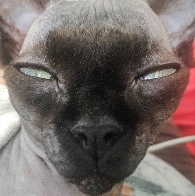 Lucy the bat cat