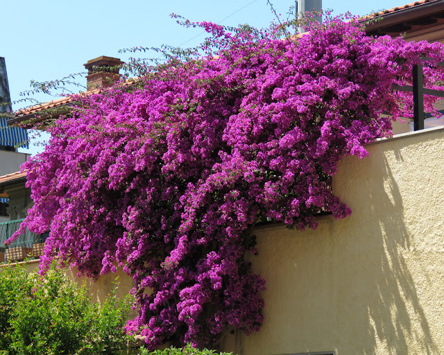 A bougainvillea in Via Puntoni, Livorno