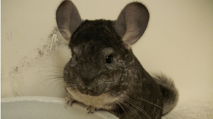 breeding-and-reproduction-of-chinchillas