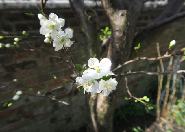 Early white blossom on plum tree