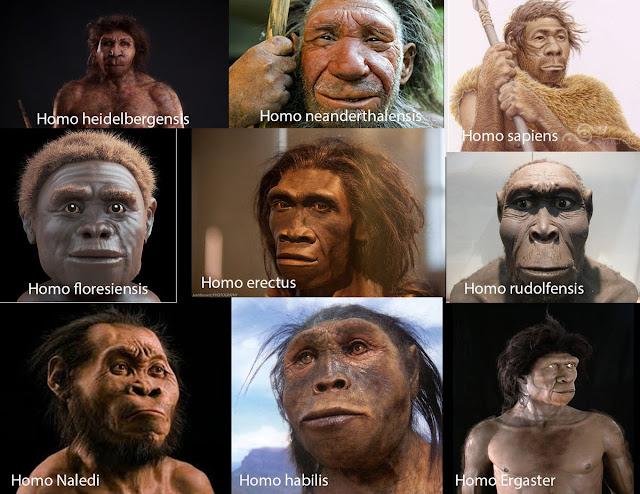 تمثيل تقريبي حسب شكل الجمجمة لأشباه البشر