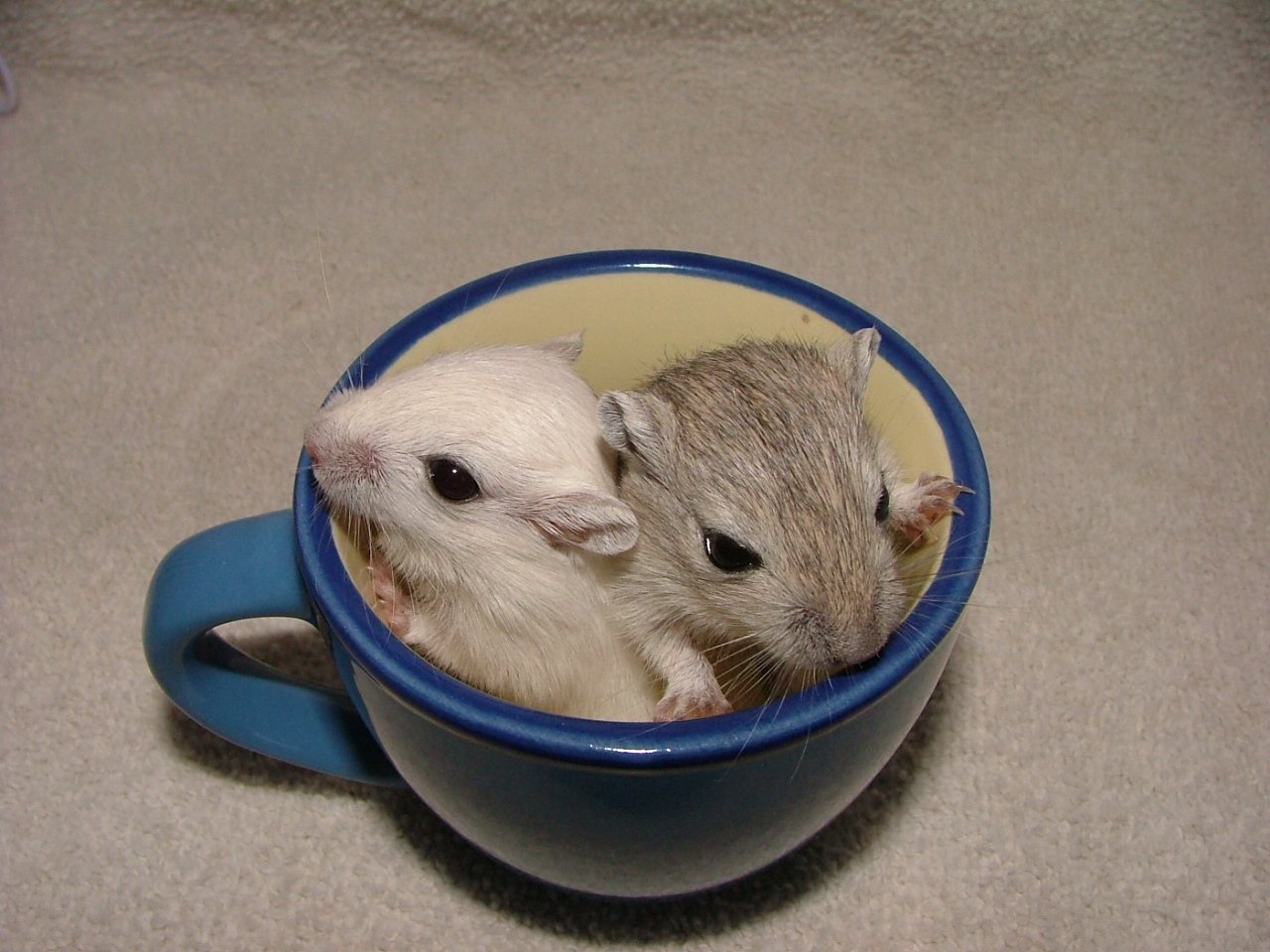 Funny Gerbils Latest Picturies