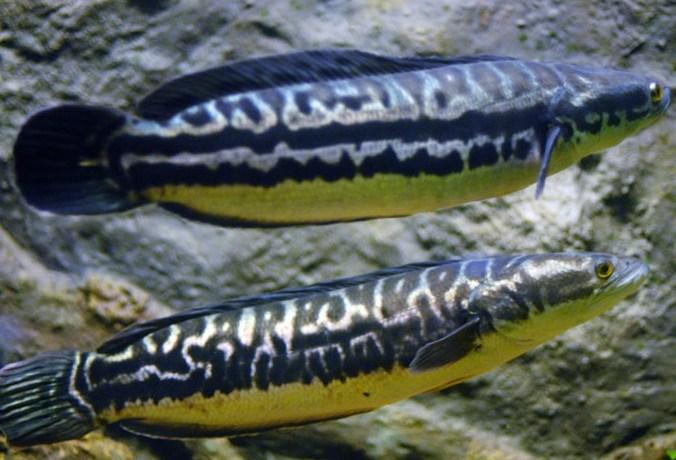 Ikan Toman