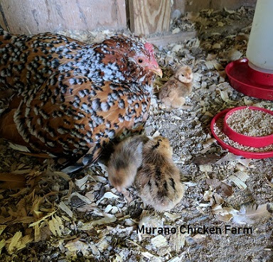 hen caring for her chicks