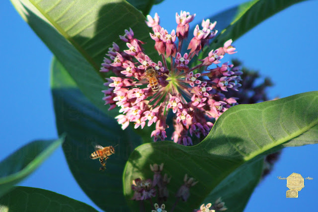 Bee Flying To Milkweed In Elgin Illinois