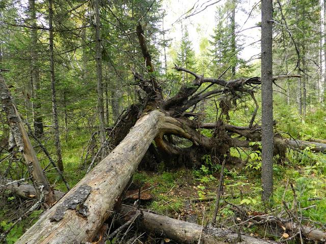 Корни поваленного дерева в национальном парке Зюраткуль