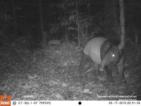 Tapir Tertangkap Kamera Di TNBG