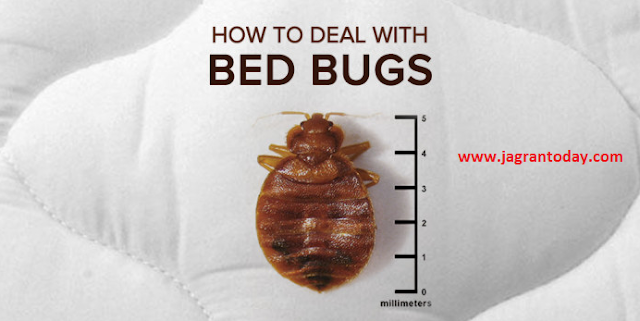 Bed Bugs Information In Hindi
