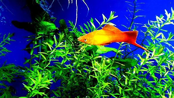 Best Tropical Fish for Beginners: Swordtail