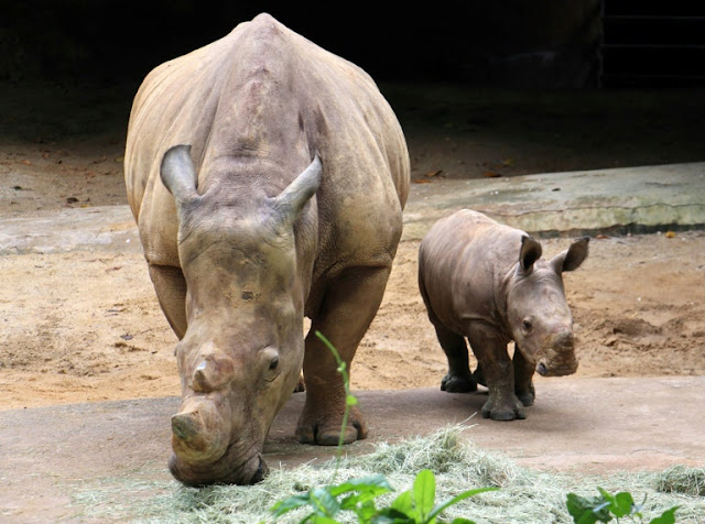 Baby rhino view at Singapore Zoo