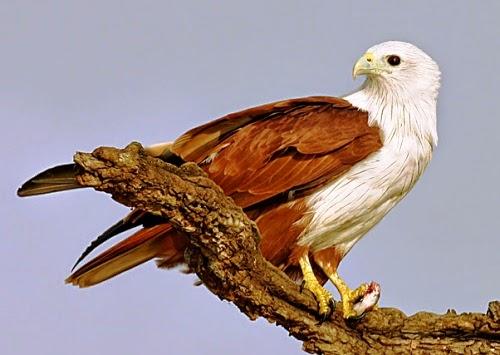 Burung Elang  Eagle  Hawk  Gembala News