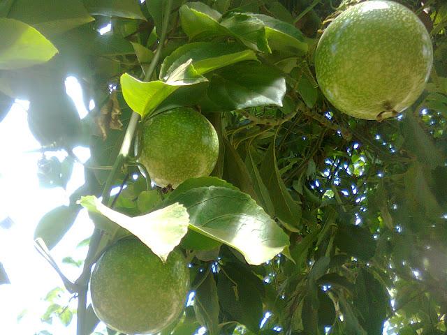 Pohon Markisa Telah Berbuah Lebat