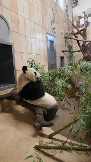 Giant Panda in the Zoo In Vienna