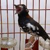 Cara Perawatan Burung Anis Kembang Agar Berkicau Maksimal
