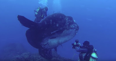 Divers encountered the gigantic sunfish at the coast of Portugal