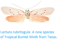 http://sciencythoughts.blogspot.co.uk/2017/12/lactura-rubritegula-new-species-of.html