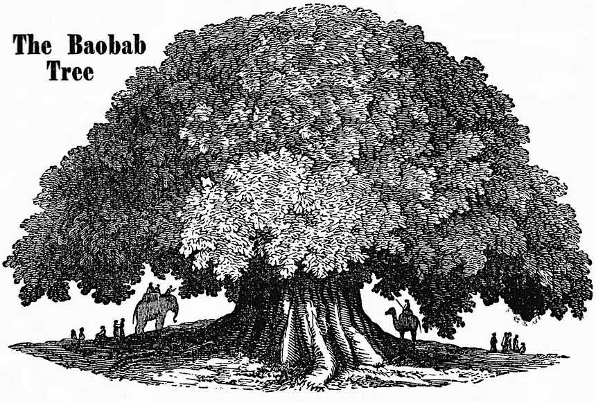 "the Baobab ""tree of life"", 1849 Africa illustration"