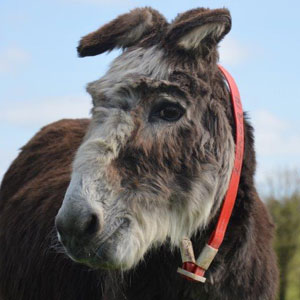 Donkey Sanctuary Ireland Adopt a Donkey