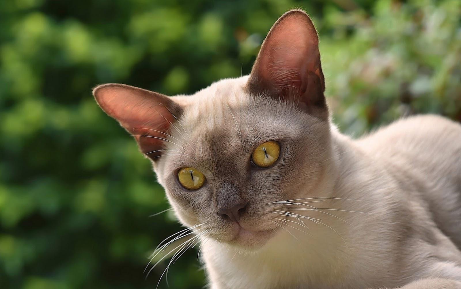 Burmese Cat Breed Profile Australian Cat Lover