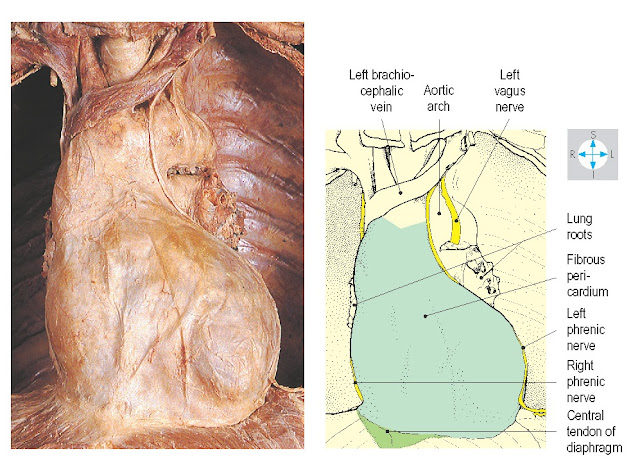 The fibrous pericardium and phrenic nerves revealed after removal of the lungs.