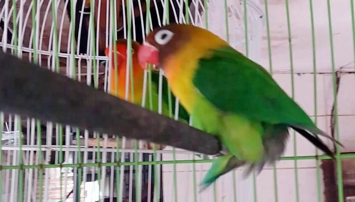 Cara mengatasi lovebird gestang