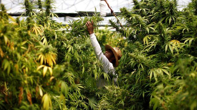 Canadá quiere el negocio de la marihuana legal en México
