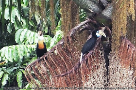 Papuan Hornbill birds photo by Charles Roring