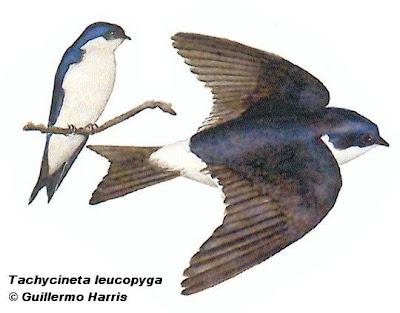 Golondrina patagónica Tachycineta leucopyga