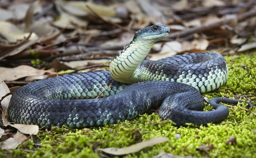 The main characteristics and habitat of tiger snakes