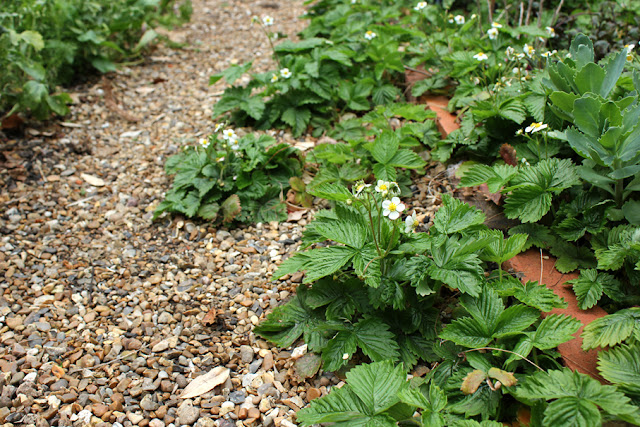 Wild strawberry plants in flower and growing over a gravel path