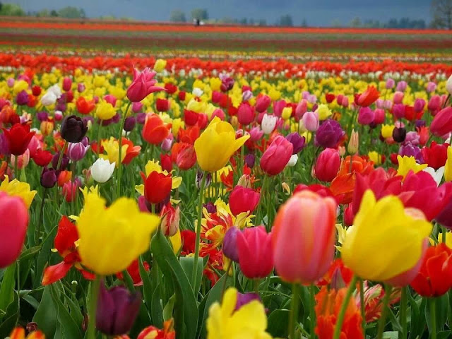 Tulip fields: Keukenhof, Netherlands 8 Places to Visit Before You Die