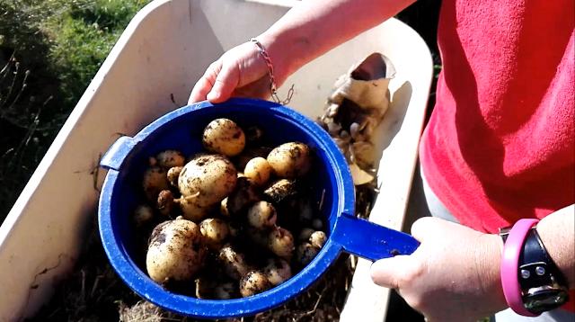 Récolte des pommes de terre en pots (vidéo)