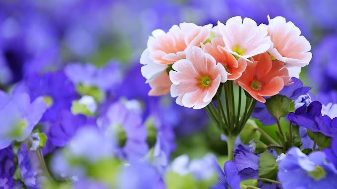 Lindas Flores Rosas, Violetas, Primavera, Natureza