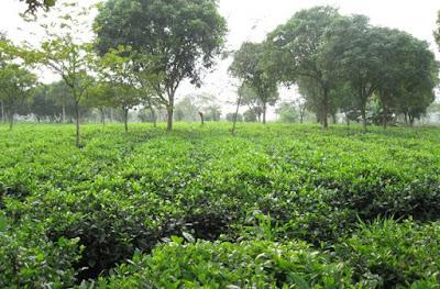 bán cây chè xanh tại hà nội-bán cây trà xanh tại hà nội