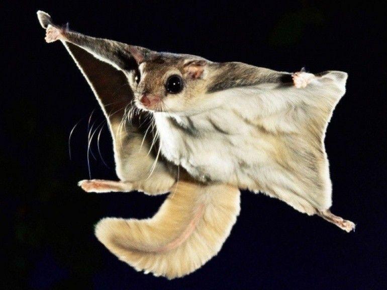 flying-squirrel2.jpg