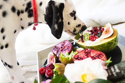 A black and white Dalmatian sniffs at a tray of fruits