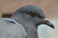 Pigeon'sdadagiri