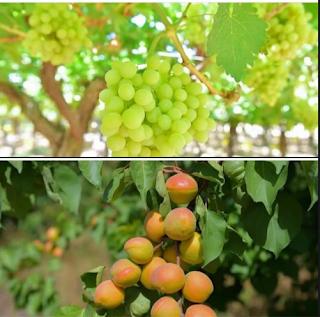 kota Tabuk penghasil buah anggur