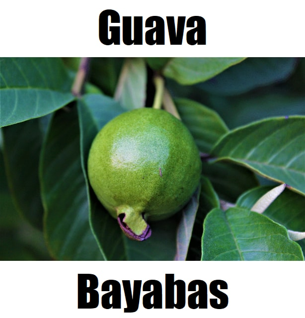 Guava in Tagalog