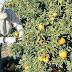 Centro de cítricos en Caraparí inició con elaboración de mermeladas