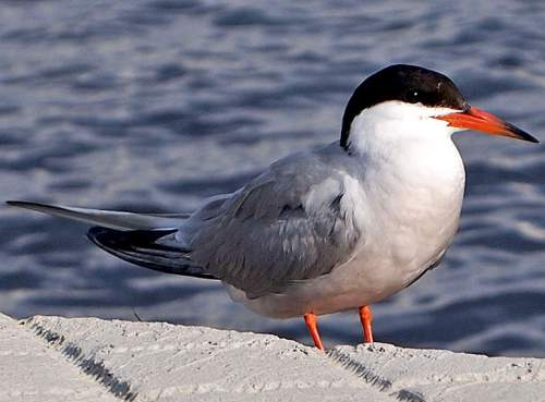 Birds of India - Photo of Common tern - Sterna hirundo